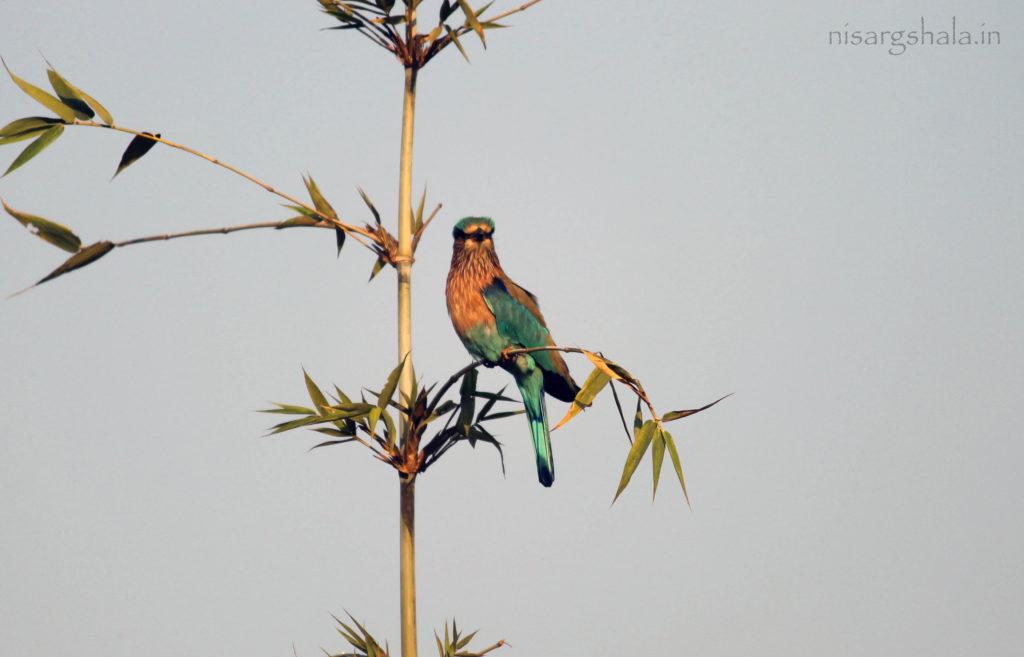 Indian Roller Bird @ Camping near Pune