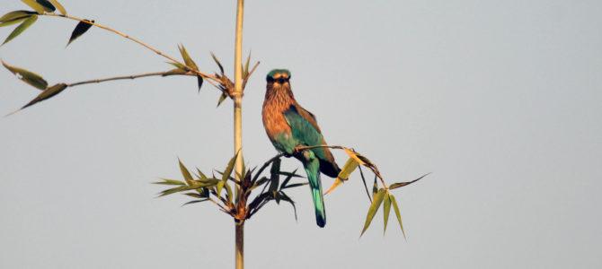 Indian Roller Bird (नीलकंठ) @ Nisargshala