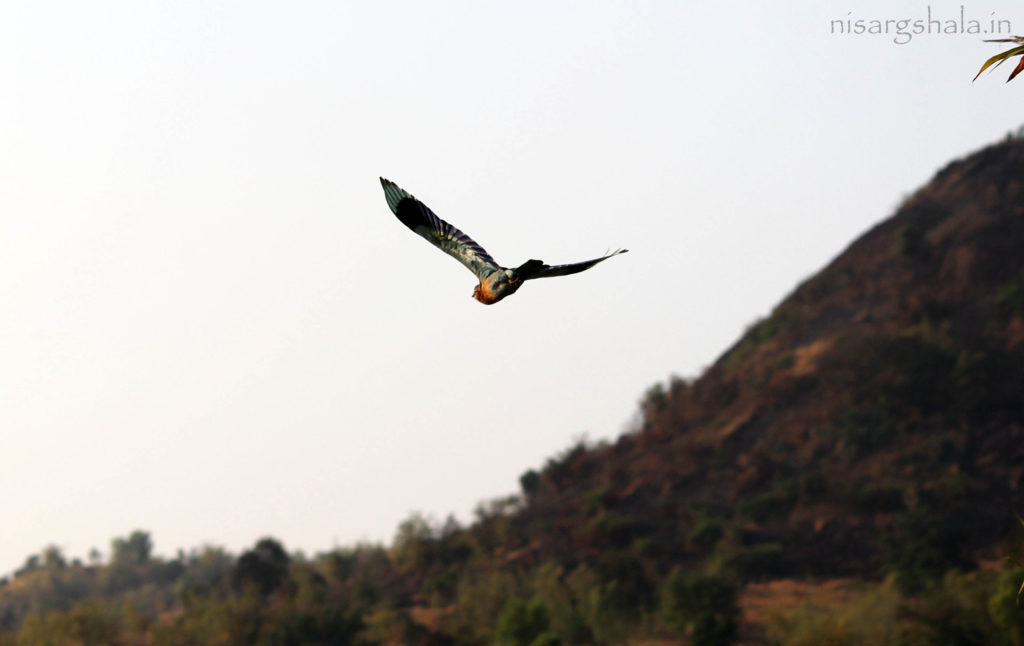 Presence in India : Indian Roller is found in the foot hills of the Himalayas, Southern India and Western India (Especially Western Ghats). It can also be spotted in the Corbett National Park, Sultanpur Bird Sanctuary, Rajaji National Park, Muthanga Wildlife Sanctuary, Nagarhole National Park and Kanha National Park in India.
