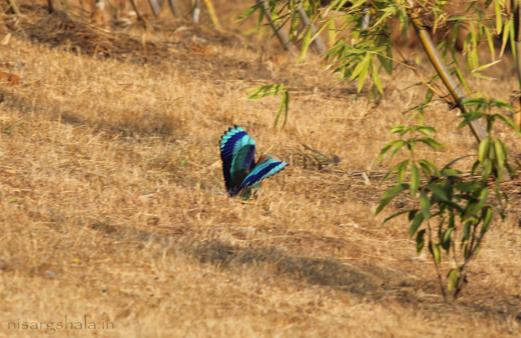 Habitat : Indian Roller prefers open ground, cultivated fields, local parks and cities at lower elevation.