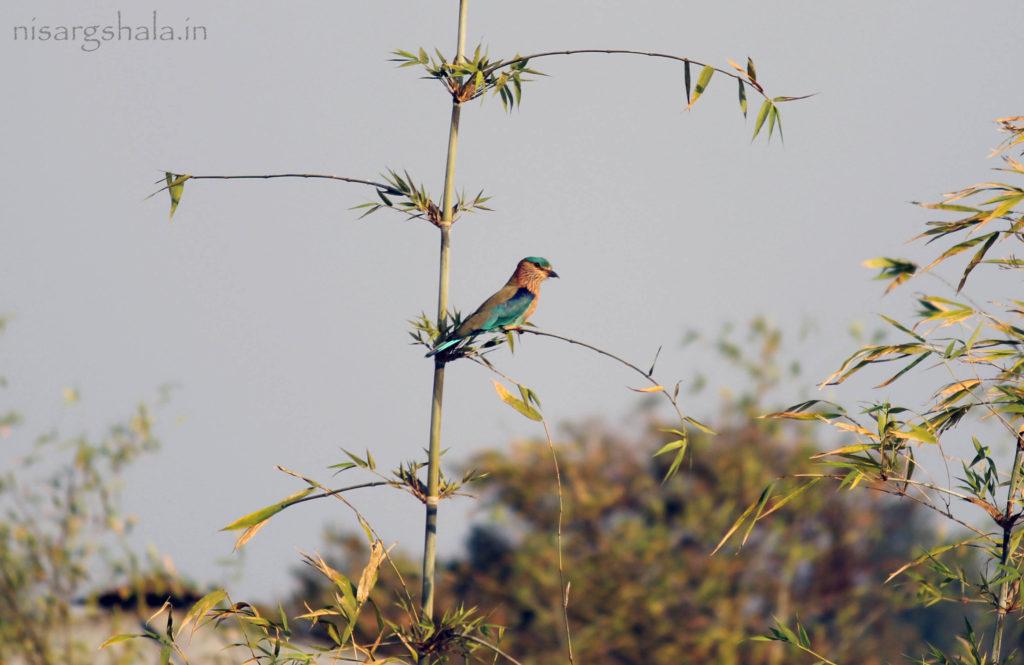 Indian Roller bird (नीळकंठ)