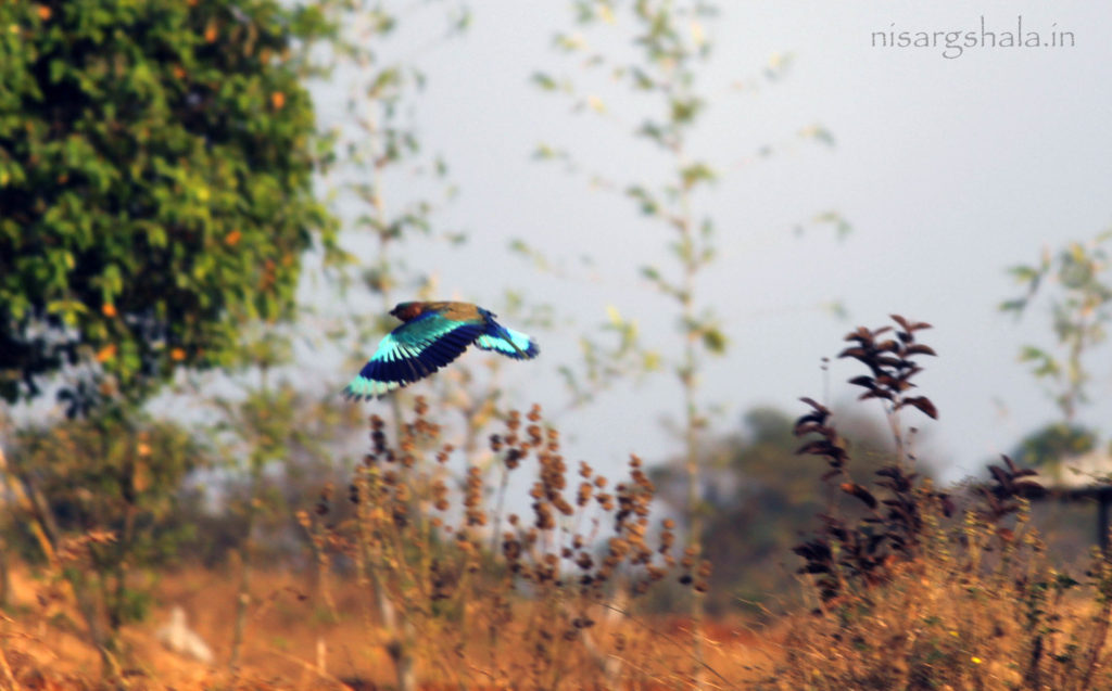 Diet : Indian Roller is omnivorous. It mainly feeds on frogs. It also favours lizards, acorns, grasshoppers, crickets, Butterflies and moths.