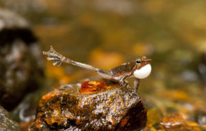 Dancing frog in Western ghats