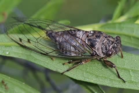 Cicada @ Nisargshala
