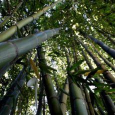 भारतातील बांबु – काल, आज आणि…