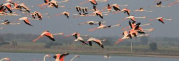 Migratory and resident Bird watching @ Bhigwan